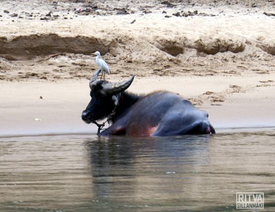 Water buffalo and a bird