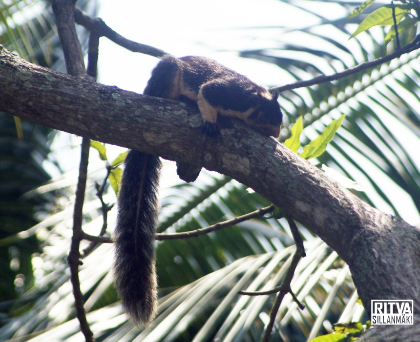 Grizzled Giant Squirrel