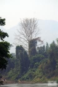 Kwai River trees