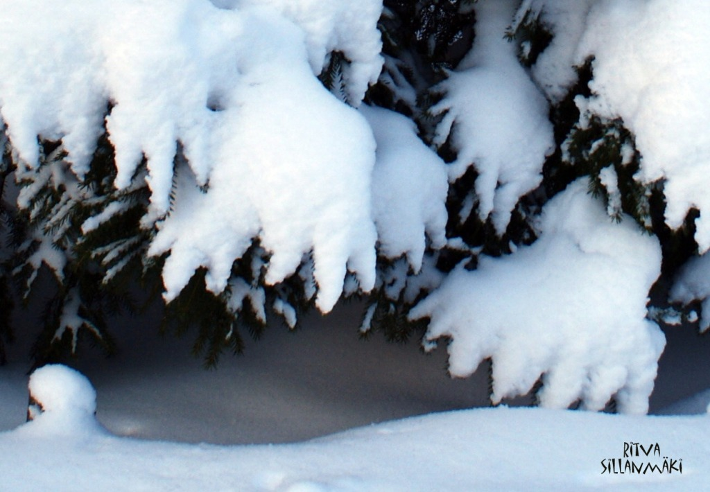 Spruse under snow