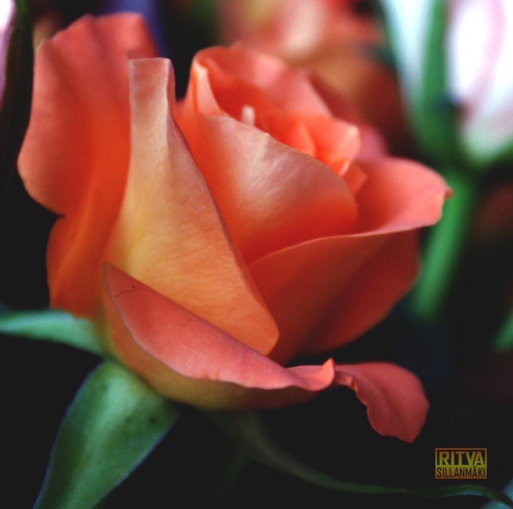 Oranssi ruusu