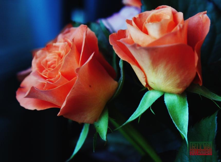 oranssit ruusut