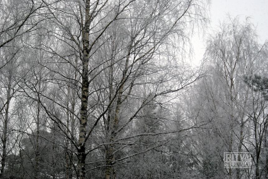 Original - Birch tree