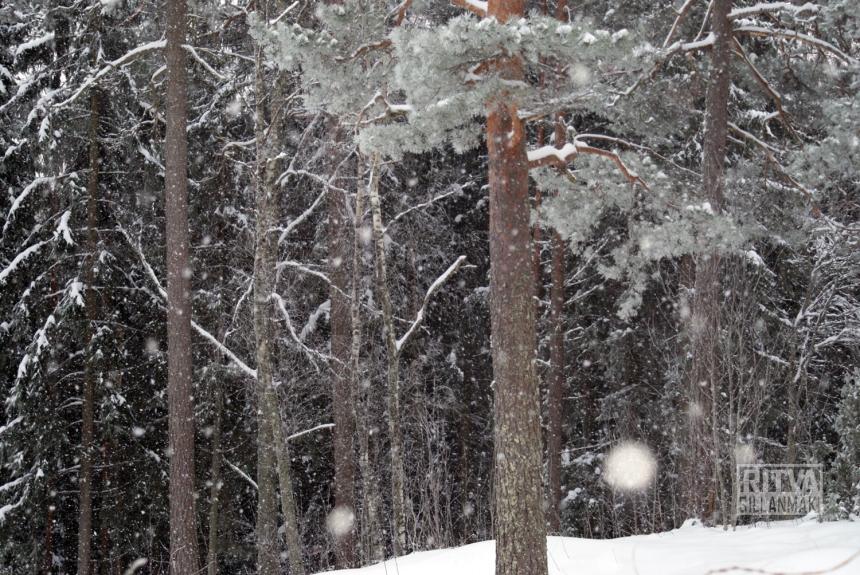 Original - Pine  tree