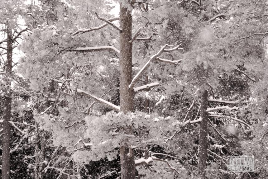 Tones - Pine  tree