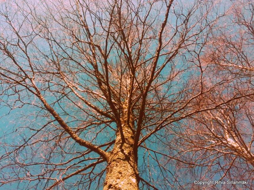 100 year old birch tree
