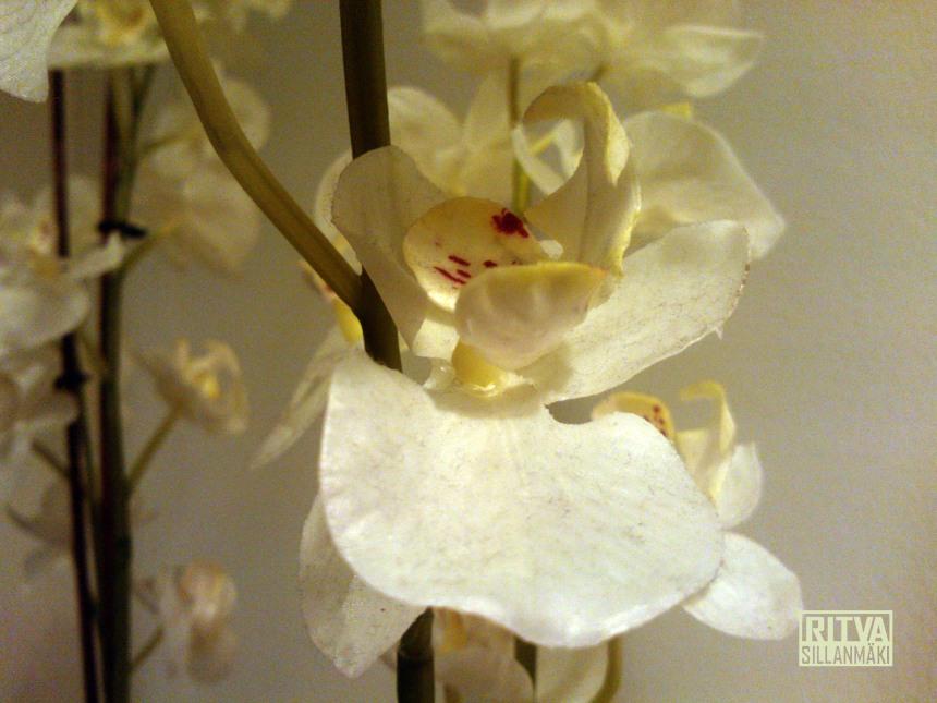 orkidea1