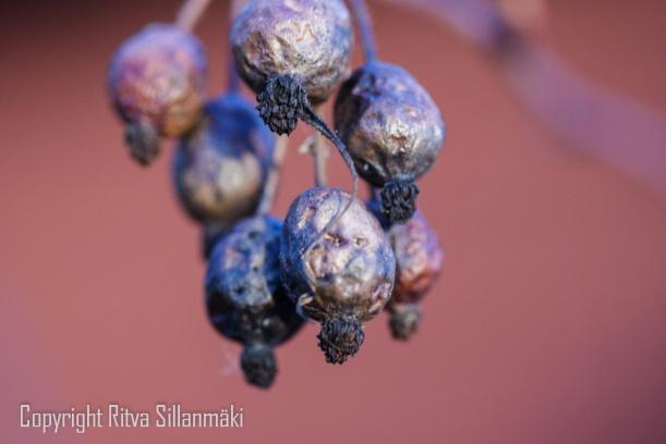 Wildrose berries