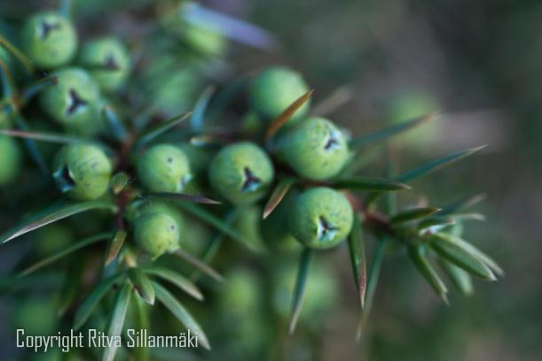 juniper berry Scent!