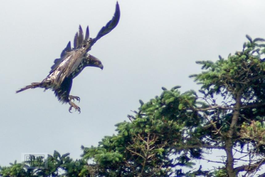 bald eagle-10