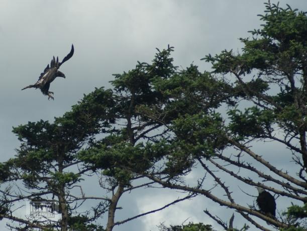 bald eagle-11