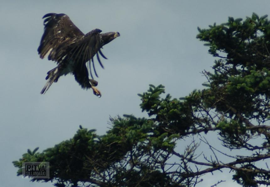 bald eagle-12