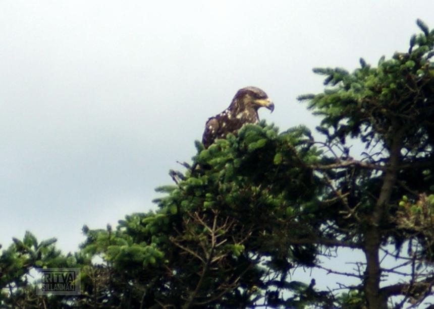 bald eagle-17