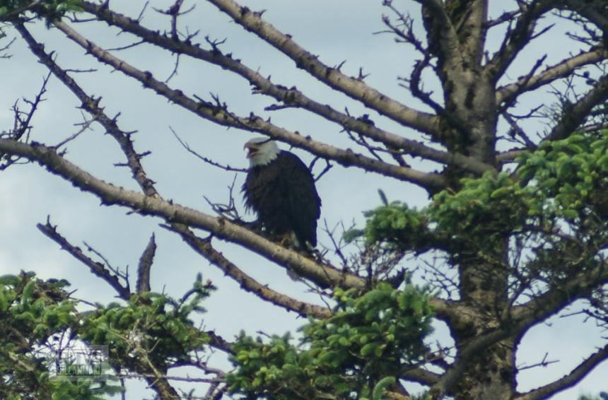 bald eagle-8