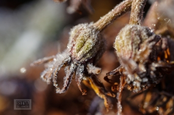 Frost bite 2013-15