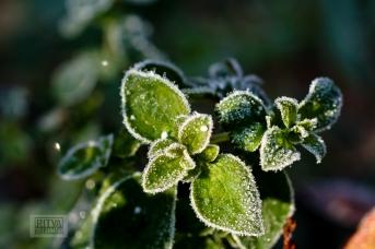 Frost bite 2013-26