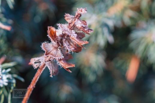 Frost bite 2013-43