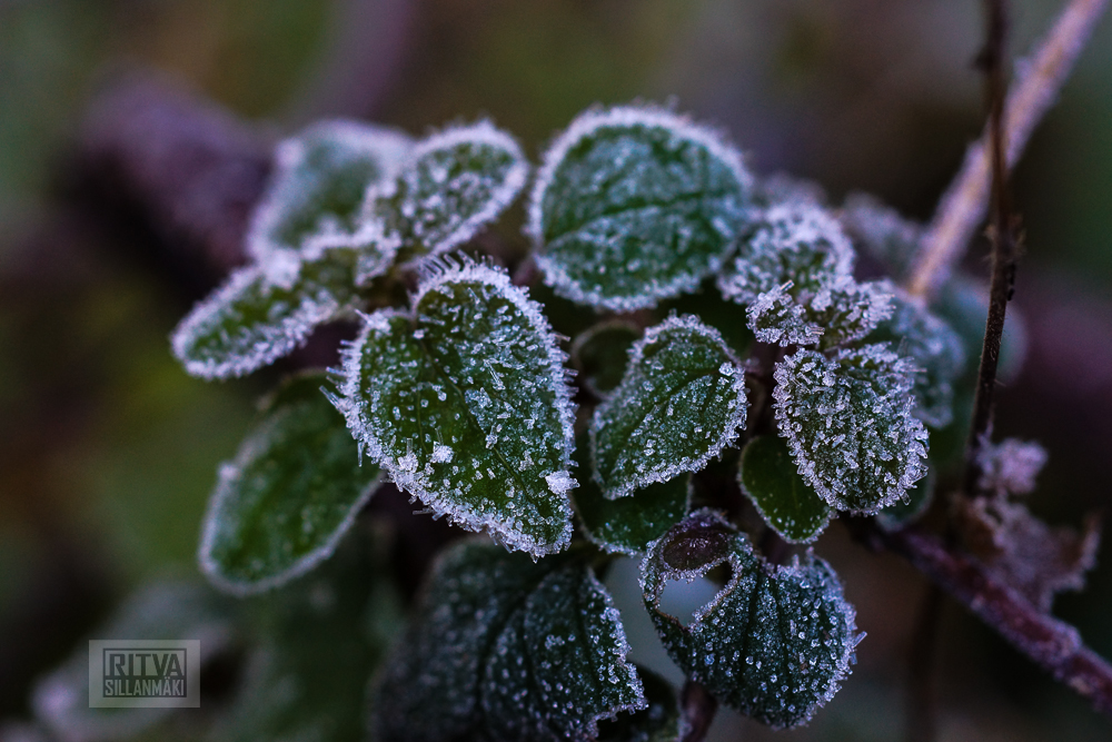 Frost bite 2013-8