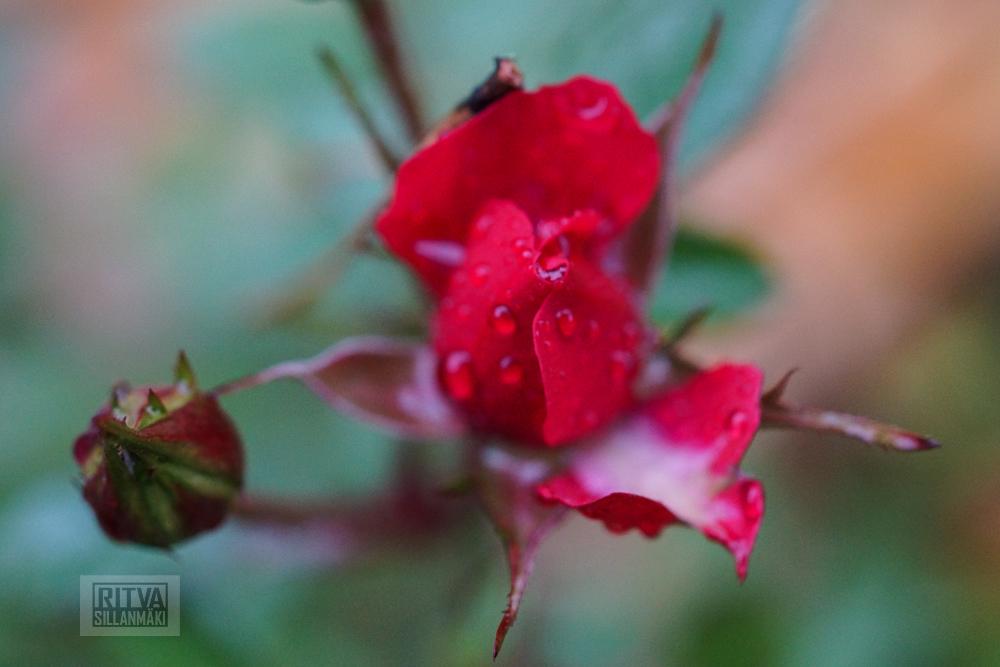 OCTOBER rose-10