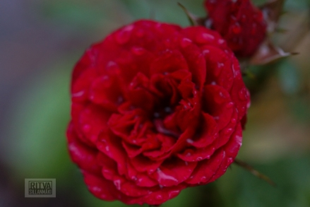 OCTOBER rose-11