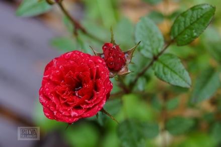 OCTOBER rose-13