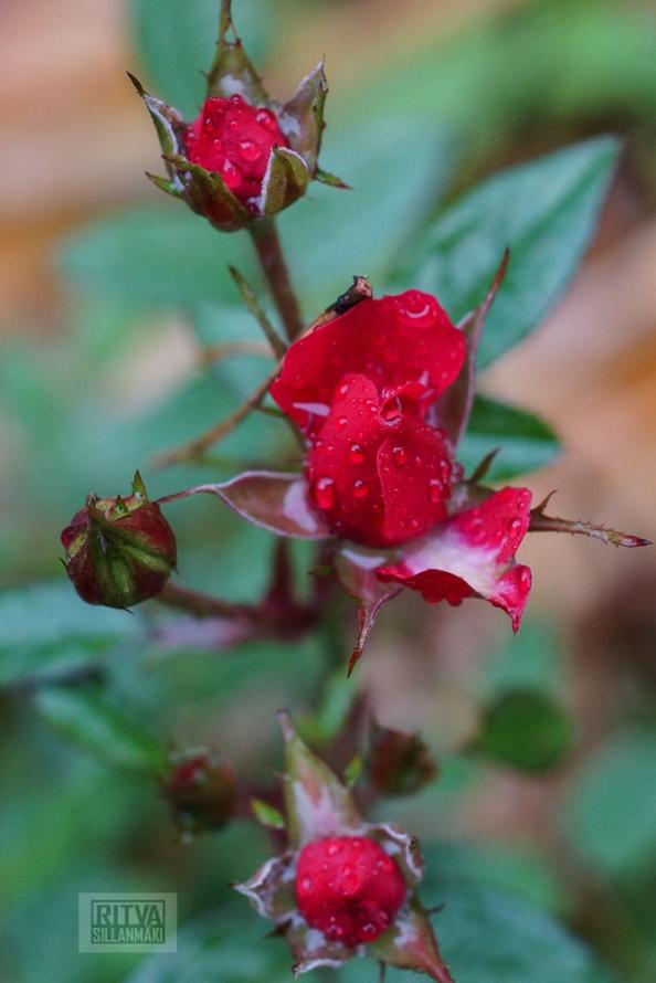 OCTOBER rose-14