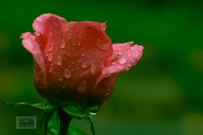 OCTOBER rose-19