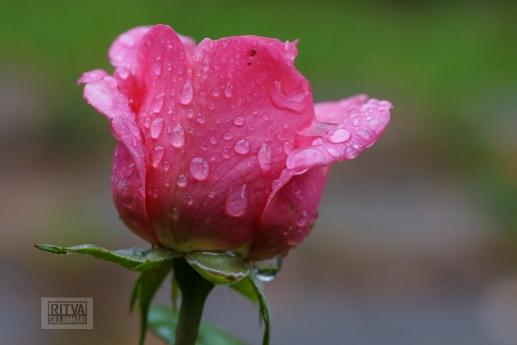 OCTOBER rose-20