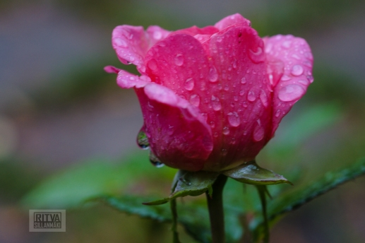 OCTOBER rose-3