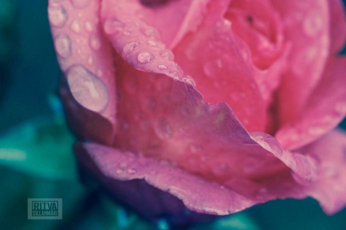 OCTOBER rose-5