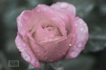 OCTOBER rose-6