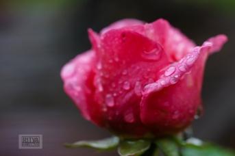 OCTOBER rose-8