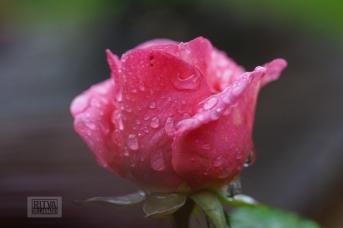 OCTOBER rose-9