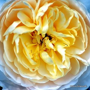 yellow rose (3)
