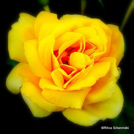 yellow rose (4)