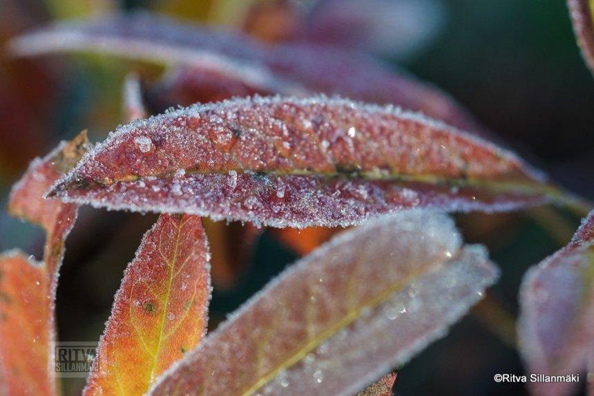 1-Frost bite 2013-7