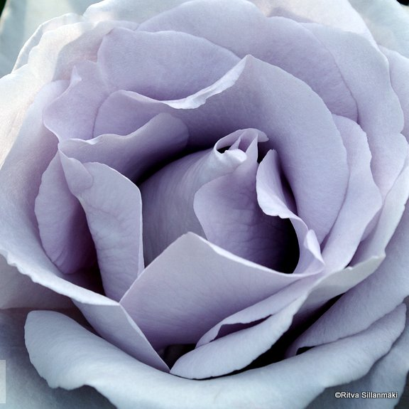 5-Portland roses-25
