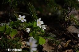 wood sorrel-7