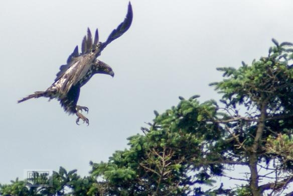bald-eagle-10