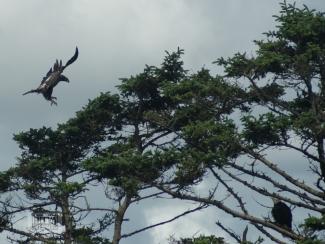bald-eagle-11