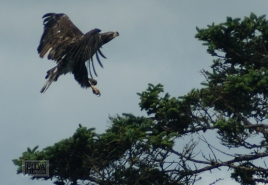 bald-eagle-12