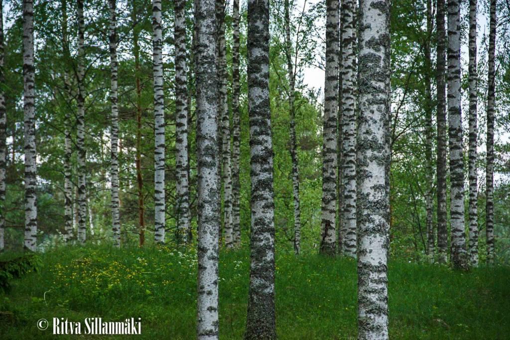 birch woods1