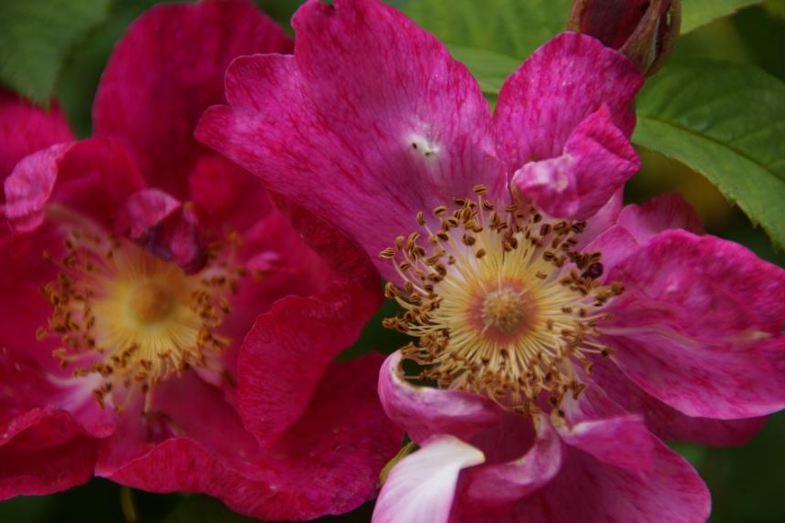 Rosa rugosa (rugosa rose, Japanese rose, or Ramanas rose