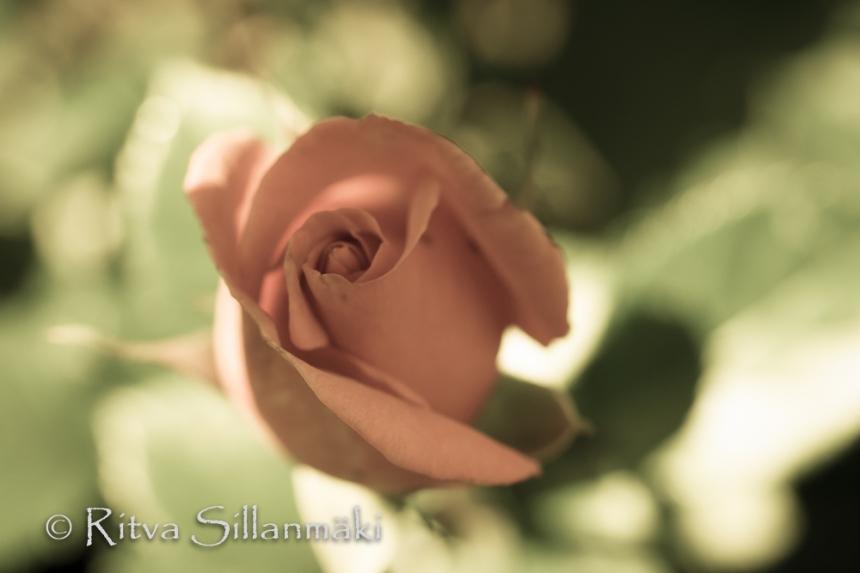 bro flowers -pink rose(9 of 103)