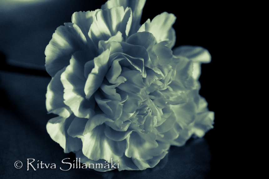 Carnation in Black and white (24 of 32)