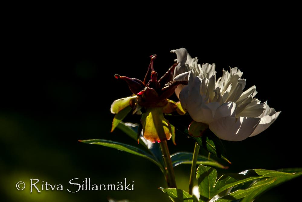 garden flowers- Ritva Sillanmäki (28 of 30)