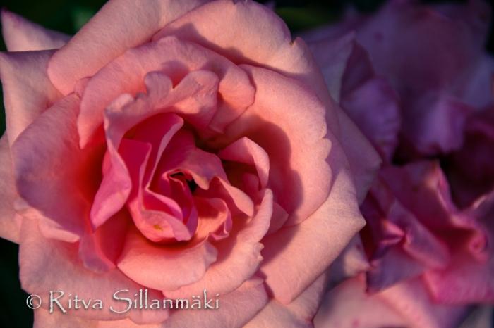 Pink rose (100 of 135)