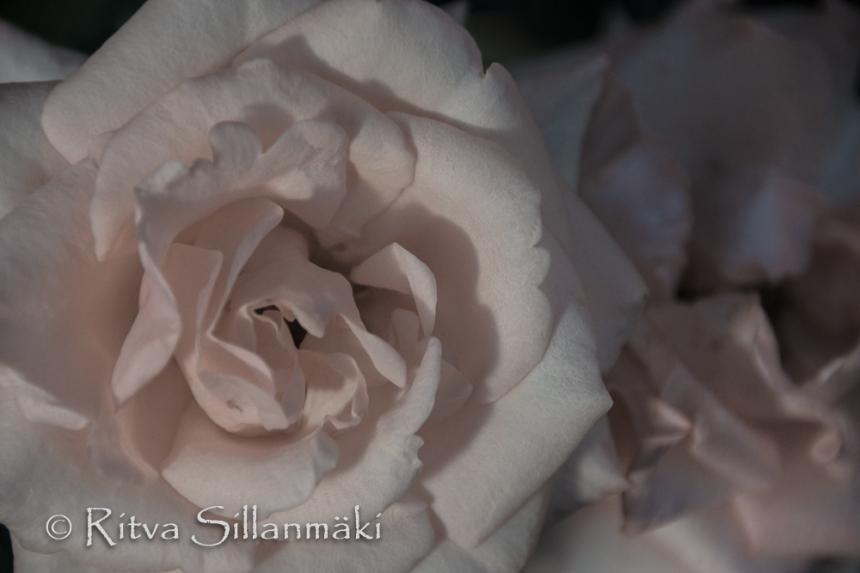 Pink rose (101 of 135)