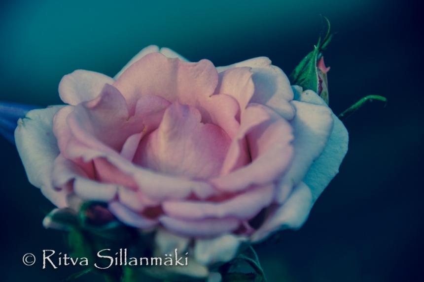 Pink rose (102 of 135)