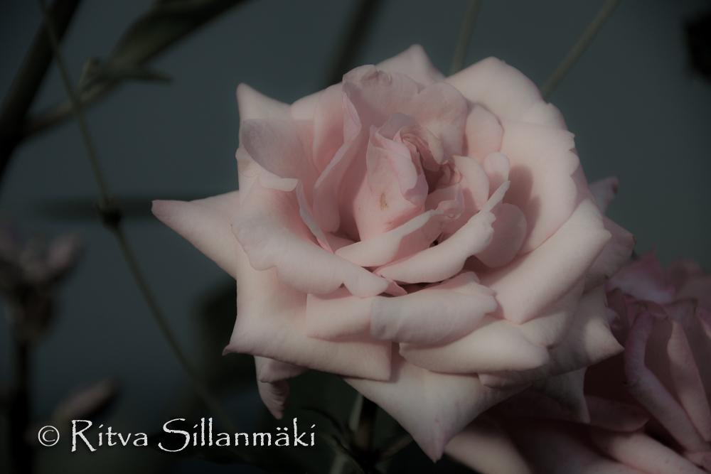 Pink rose (103 of 135)